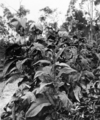 Queensland State Archives 4246 Tobacco plants showing correct method of covering see head to prevent crosspollination 1933.png
