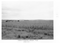 Queensland State Archives 4505 Maize Manuem Soldiers Settlement c 1950.png