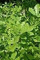 Quercus faginea kz01.jpg