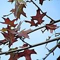 Quercus palustris leaves, Pionirski park, Belgrade.jpg
