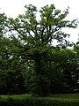 Quercus robur - Landschaftspark Steinhöfel 20-07-2010 71.jpg