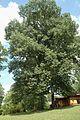 Quercus rubra (23840195339).jpg