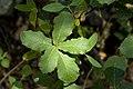 Quercus rugosa - Flickr - aspidoscelis.jpg