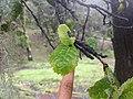 Quercus semecarpifolia 07.jpg