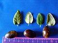 Quercus suber LeavesandAcorn2 DehesaBoyaldePuertollano.jpg