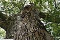 Quercus velutina 9zz.jpg