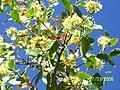 Quillay arbol nativo Chileno en flor - panoramio.jpg