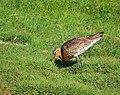 Rödspov Black-tailed Godwit (14519415424).jpg