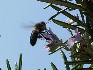 Abeja recogiendo polen.