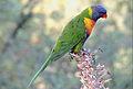 Rainbow lorikeet, Trichoglossus moluccanus, Royal Botanic Gardens, Melbourne, Australia (25093202834).jpg