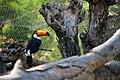 Ramphastos toco -Gramado Zoo, Rio Grande do Sul, Brazil-8a.jpg