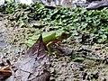 Rana en Cascadas Maravilla.jpg