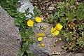 Ranunculus acris in Jardin Botanique de l'Aubrac 05.jpg