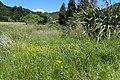 Ranunculus acris kz05.jpg