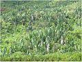 Ravenala forest madagascar.jpg