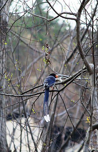 Red-billed blue magpie - Red-billed blue magpie in Shimla Water Catchment Wildlife Sanctuary H.P.