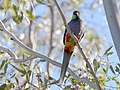Red-capped Parrot, Blackadder Wetland 3a.jpg