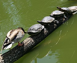 Red-eared sliders and Mallard in Golden Gate Park 1.jpg
