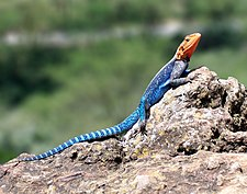 Ing red-headed rock agama (Agama agama) king Kenya.
