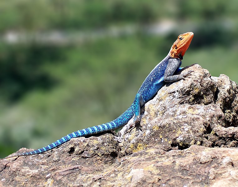 764px-Red-headed_Rock_Agama.jpg