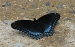 Red-spotted purple.jpg