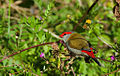 Red Browed Firetail Finch - Neochmia temporalis (6860415041).jpg