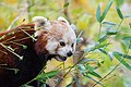 Red Panda (24677312488).jpg