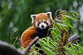 Red Panda (25107618345).jpg