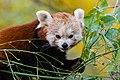 Red Panda (37661772795).jpg