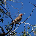 Red Shafted Northern Flicker (7347125072).jpg