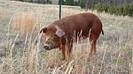 Red Wattle pig.jpg
