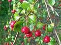 Red berries (3907153855).jpg