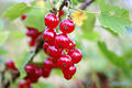 Red currant closeup.jpg