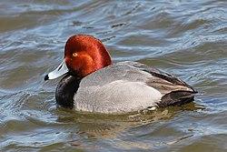 Redhead - Aythya americana, Oakley Street, Cambridge, Maryland.jpg