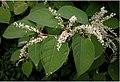 Reynoutria japonica flower (33).jpg