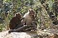 Rhesus Macaque (Macaca mulatta) (5780236891).jpg