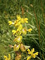 Rhinanthus minor02.jpg