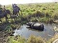Rhinoceros at jaldapara.jpg