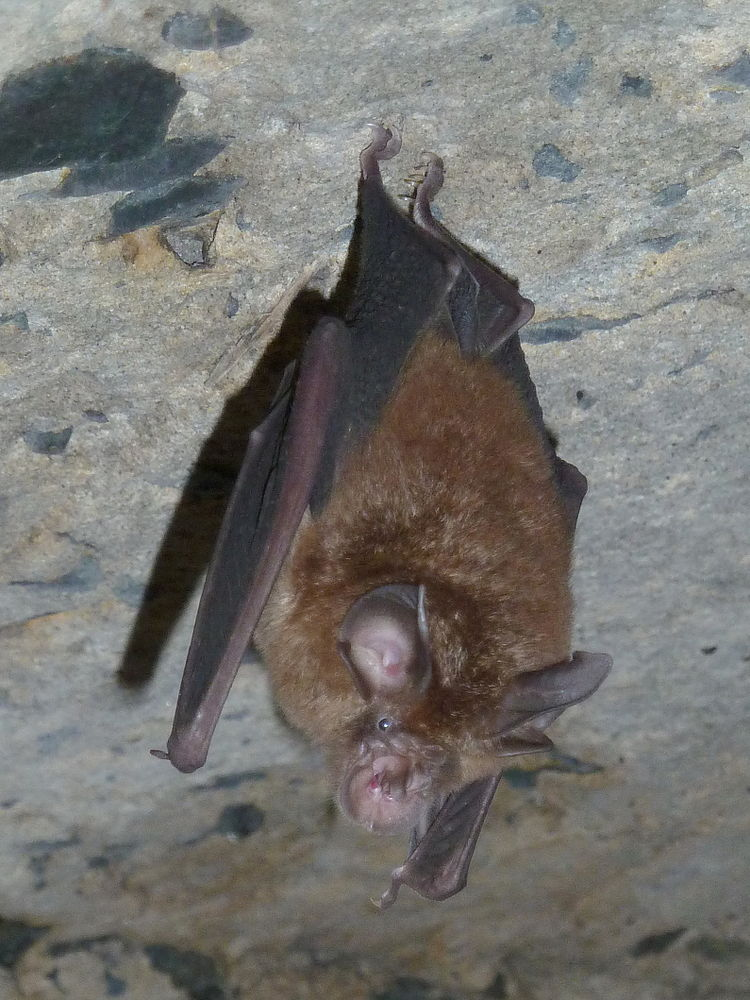 The average litter size of a Smaller horseshoe bat is 1