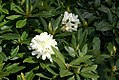 Rhododendron Chionoides 1zz.jpg