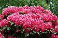 Rhododendron bloom (9001047494).jpg