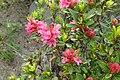 Rhododendron ferrugineum kz01.jpg