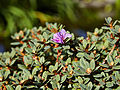 Rhododendron impeditum 'Moerheim'-IMG 9380.jpg