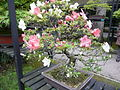 Rhododendron indicum 01a by Line1.jpg