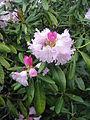 Rhododendron japonoheptamerum 1.JPG