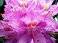 Rhododendron pontica-tr.JPG