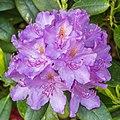 Rhododendron ponticum actm 05.jpg