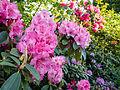 Rhododendrons (9055881903).jpg