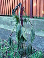 Ricinus in winter.JPG