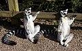 Ring Tailed Lemurs Sunbathing (5512667912).jpg